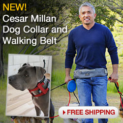 Dog Whisperer Collar and Walking Belt