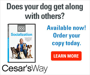Cesar Millan shows you why it's important to socialize your dogs, and how you can do it.