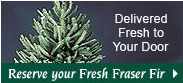 Frasier Fir Christmas Trees- Delivered to Your Doo