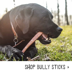 lab with a bully stick